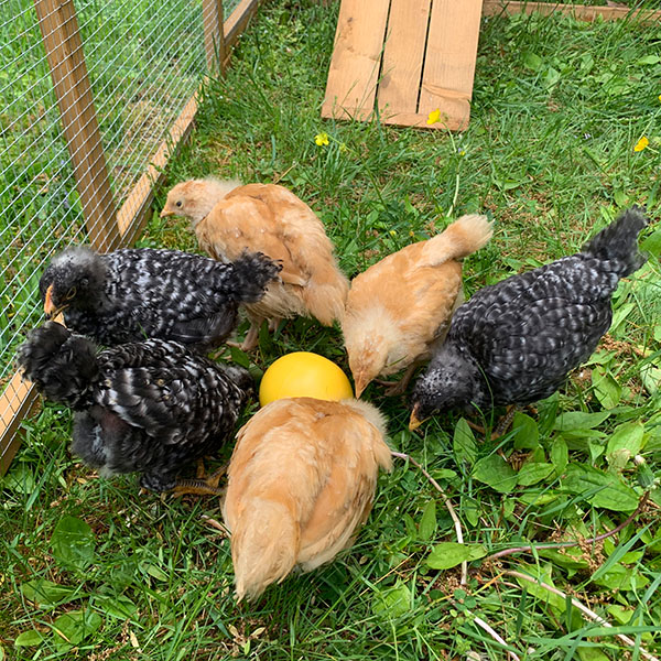 Chickens Playing with Toy